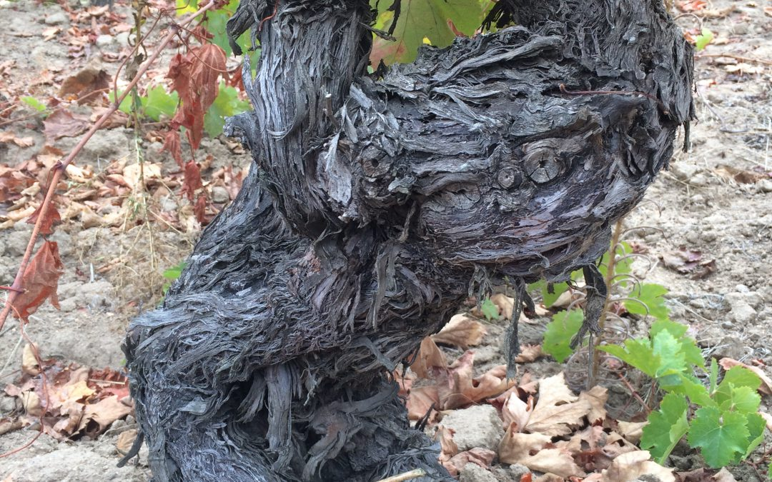 Old Vines: Notes of Profound Wisdom